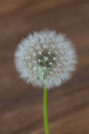 Dandelion flower isolated on wooden blurred background, close up Stock Photo