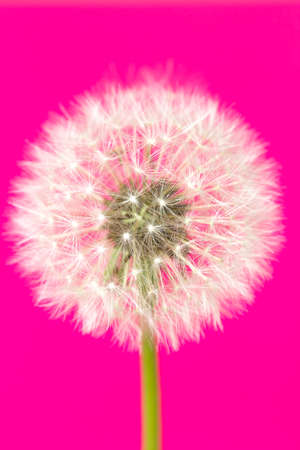 One white dandelion flower isolated on pink background