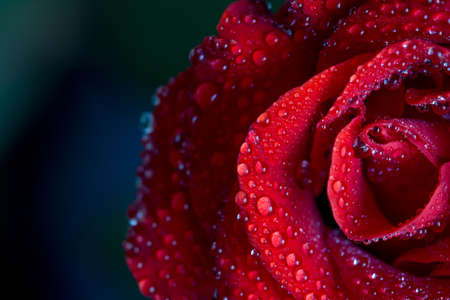 Red rose with water drops on petals with blurred background, close up