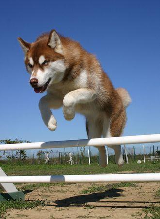 jeune: jeune husky sautant une haie