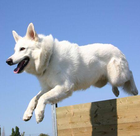 blanc: saut de berger blanc