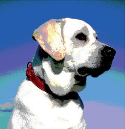 blanc: dessin de labrador