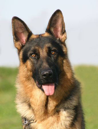 berger: German shepherd
