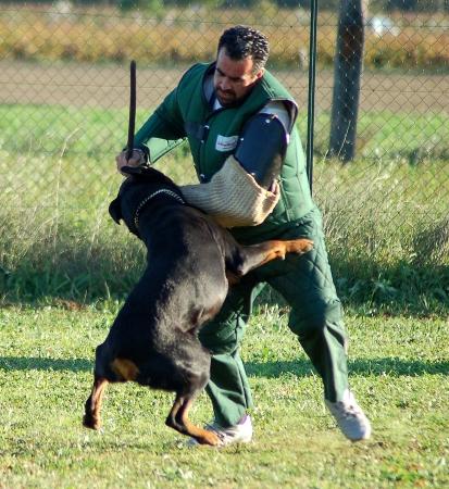 dog bite: dog attacking Stock Photo