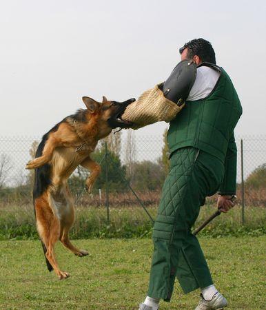 dog bite: man and german shepherd Stock Photo