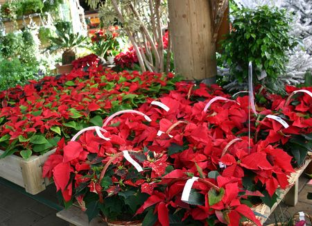 poinsettia and horticulture photo