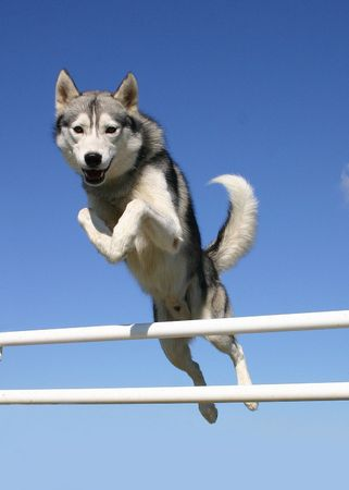siberian: speedy husky Stock Photo