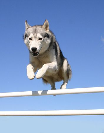 sportive husky Stock Photo - 648049