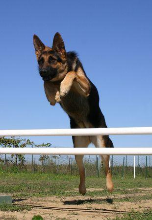 best security: sportive german shepherd