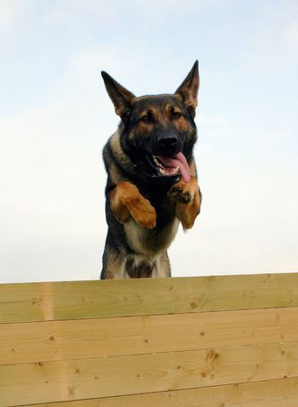 jumping german shepherd Stock Photo - 652511