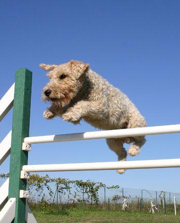 fox terrier and agility