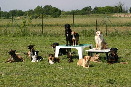 sociability: obedience dogs