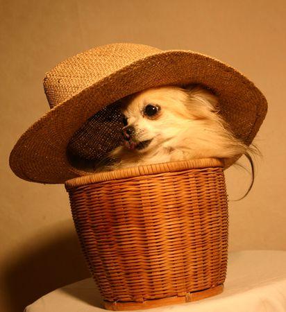 cute chihuahua Stock Photo - 658869