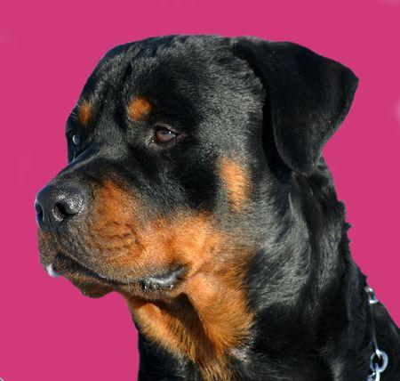 Rottweiler y rosa  Foto de archivo - 658866