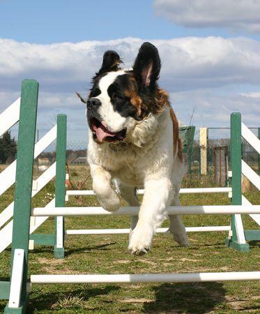 jumping st bernard