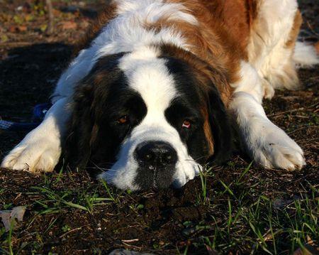 st bernard: dog mastiff st bernard