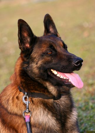 trusty: happy belgian shepherd