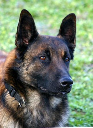 trusty: head of malinois Stock Photo