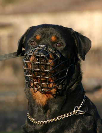muzzle: rottweiler and muzzle