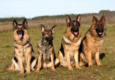 best security: four german shepherds Stock Photo