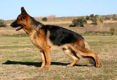 best security: german shepherd up