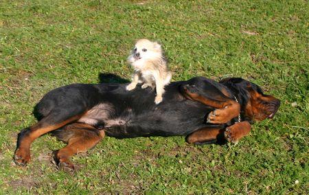 cane chihuahua: Chihuahua e rottweiler  Archivio Fotografico