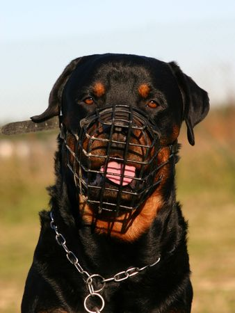 muzzle: muzzle and rottweiler