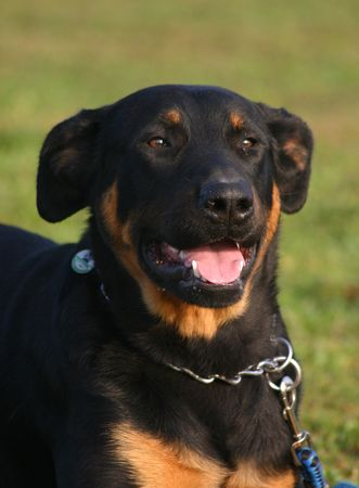 happy beauceron photo