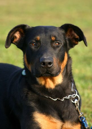 trusty: attentive beauceron