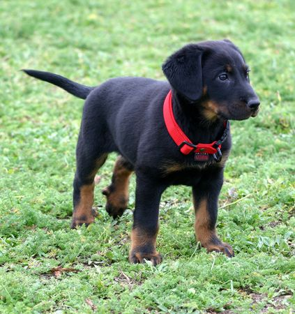 trusty: attentive puppy beauceron