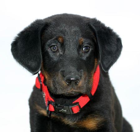 detoured puppy beauceron Stock Photo - 719949