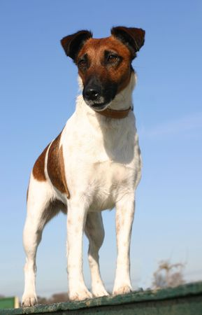 sheepdog: fox terrier up right Stock Photo