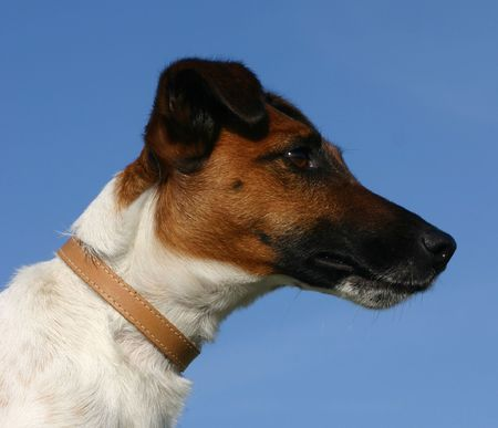 profil of terrier dog photo