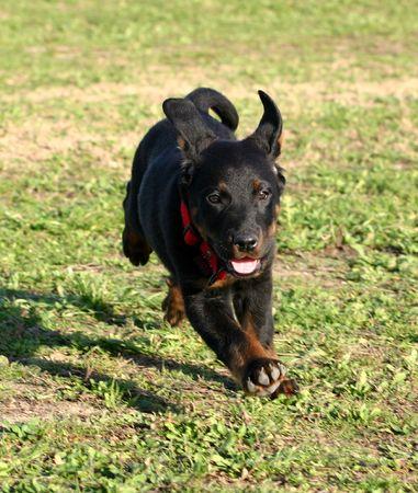 sentinel: running puppy beauceron