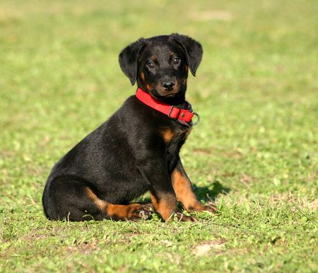 puppy beauceron Stock Photo - 722674