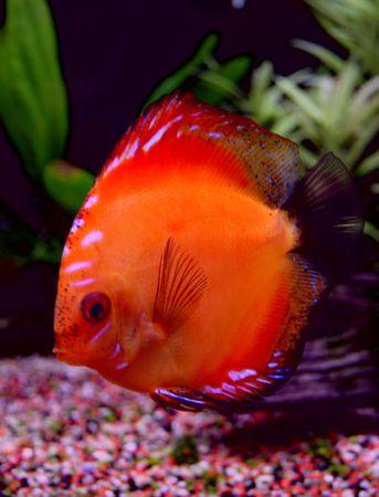 pez disco: rojo discusi�n Foto de archivo