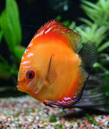 discus: orange discus