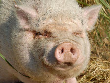 pink pig photo