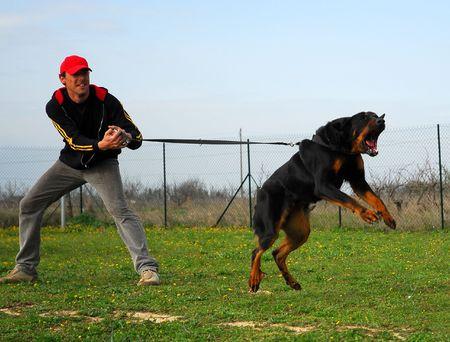 agressive: training of police dog Stock Photo