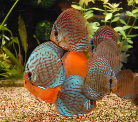 discus: colorful discus Stock Photo