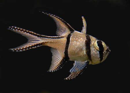 pterapogon cauderni in tank Stock Photo - 813607