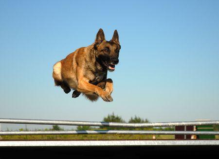 best security: jumping belgian dog