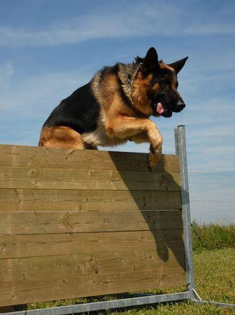 jumping german shepherd Stock Photo