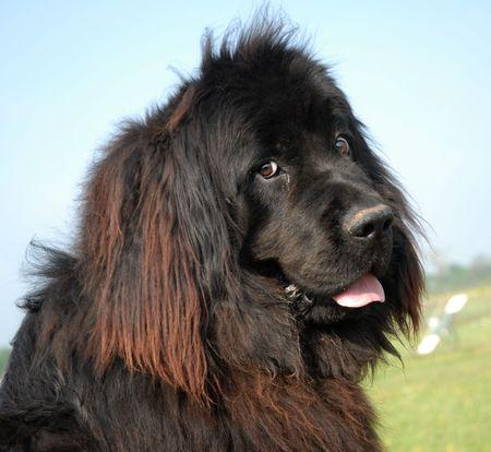 rott: Terranova perro retrato Foto de archivo