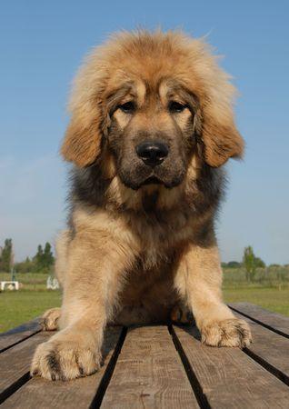sentinel: puppy tibetan dog