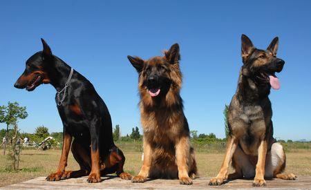 sociability: three dogs Stock Photo