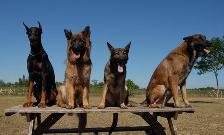 sociability: four dogs