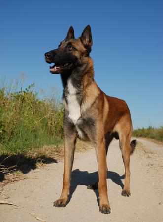 beautiful young purebred belgian shepherd malinois: cute watching dog  photo