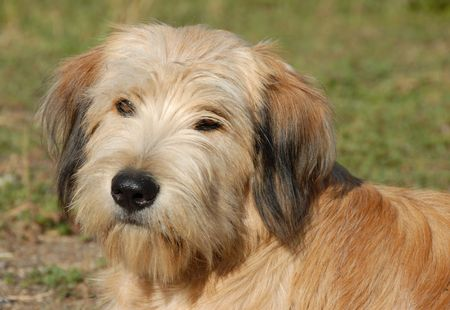pyrenean: beautiful purebred og pyrenean shepherd in a field  Stock Photo
