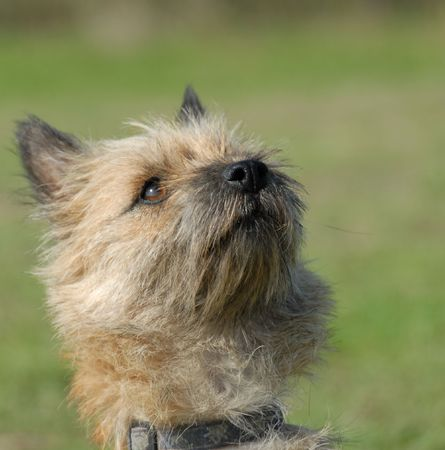 cairn: portrait of a beutiful purebred cairn terrier  Stock Photo
